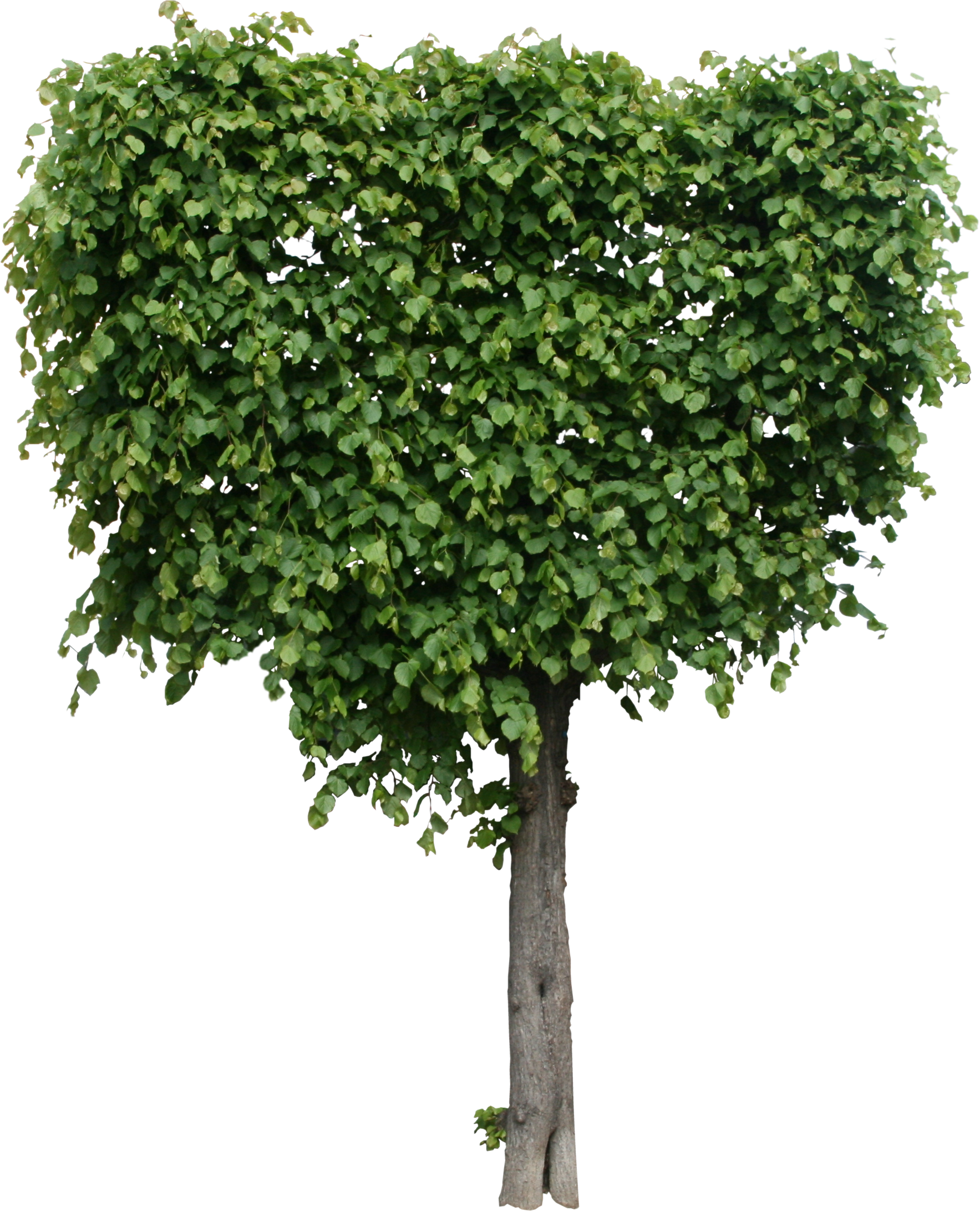 High Quality Modeled Tree Texture PNG - Flora PNG Textures ...