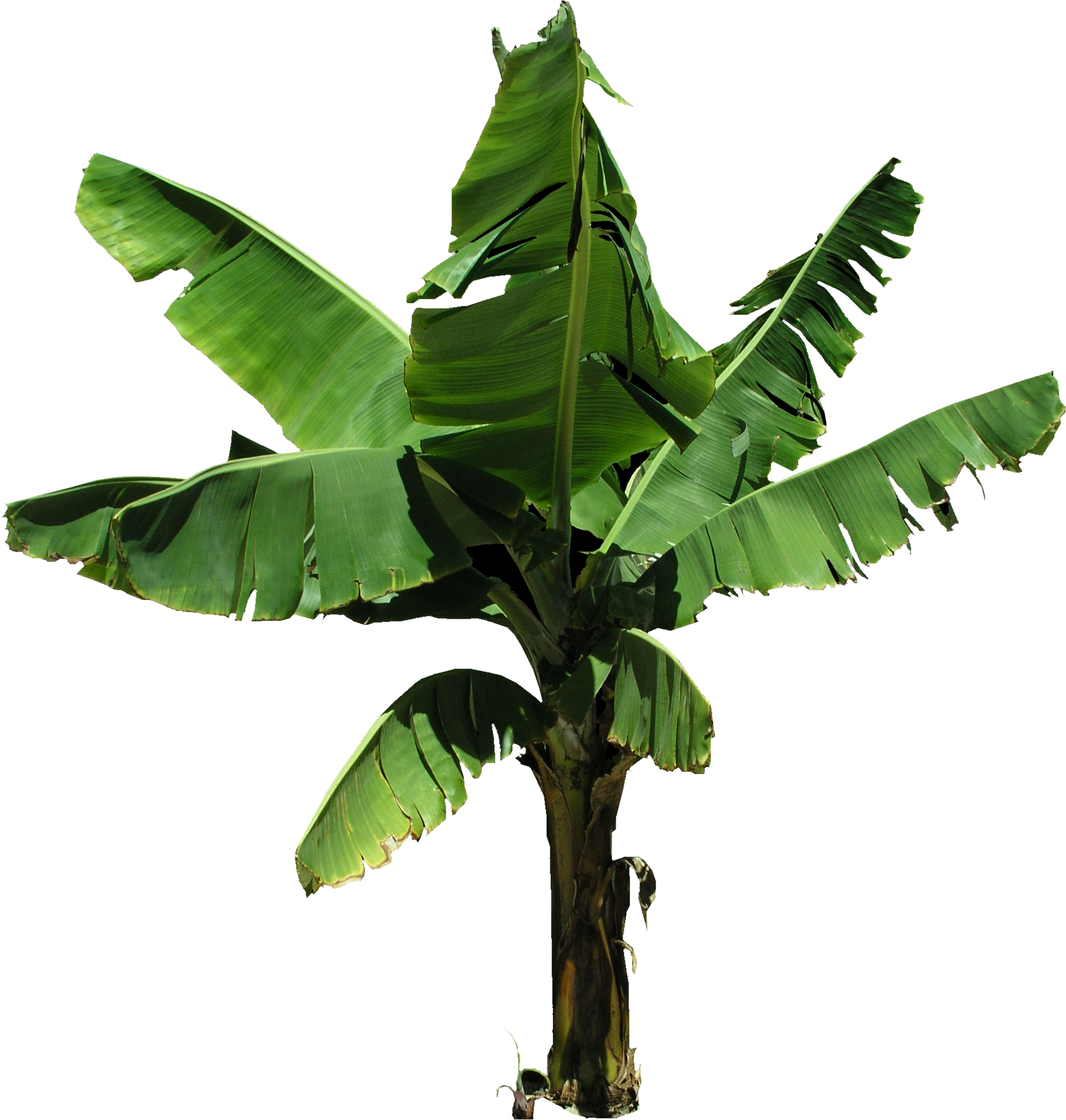 High Quality Plantain Banana Tree PNG