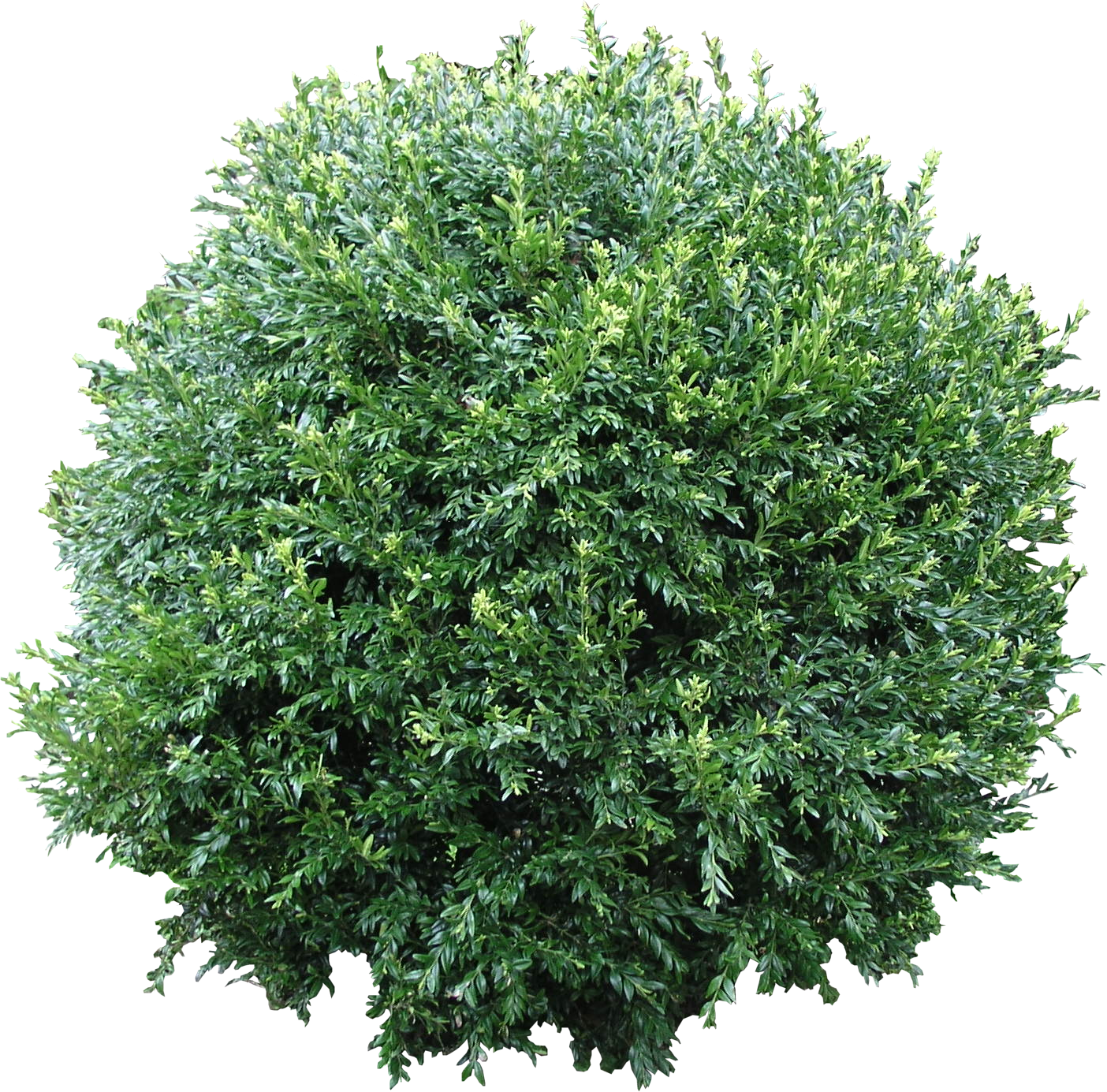 High Quality Boxwood Bush Png Flora Png Textures High