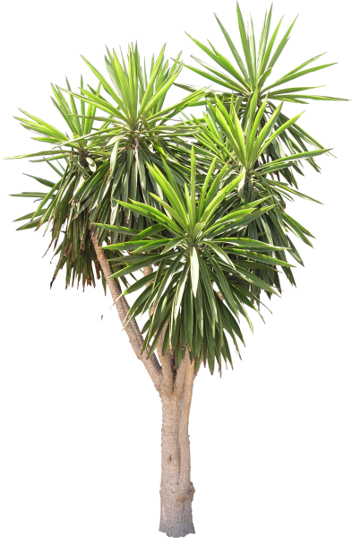High quality yucca tree png flora png textures high for Planta yuca exterior
