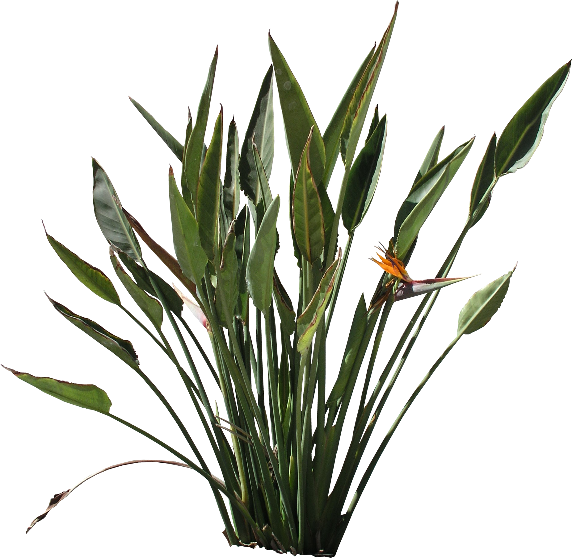 How To Read Dimensions High Quality Strelitzia Reginae Png Flora Png Textures