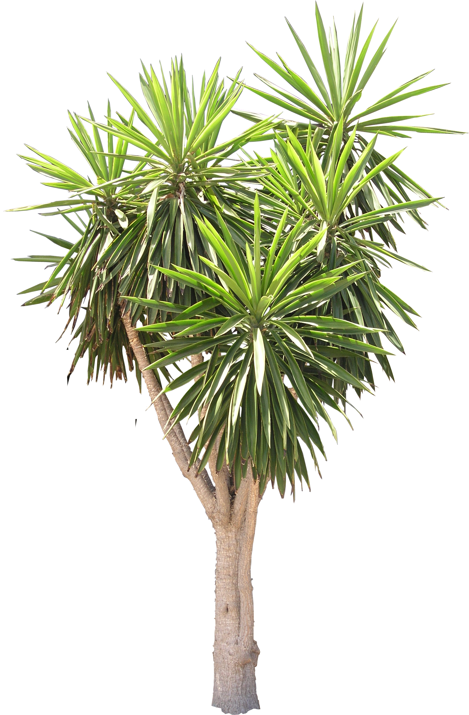 High Quality Yucca Tree Png Flora Png Textures High